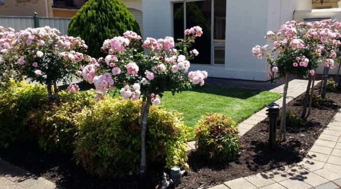 Roses pruning by Grajean's Gardening Service